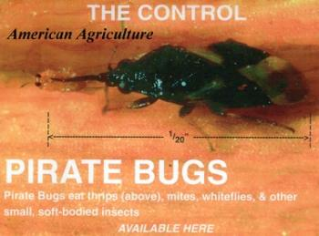 Pirate Bugs. 100 per container
