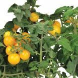 Golden Harvest Cherry Tomato Seed Kit - A Hydrofarm Exclusive!
