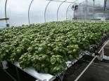 Complete Commercial NFT Growing System - Basil (Special Order)