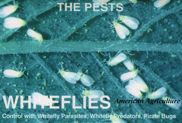 Whitefly Predators. 100 per container