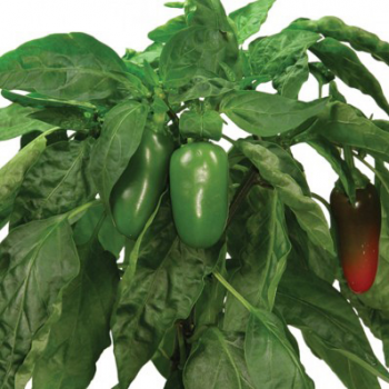 Jalapeno Pepper Seed Kit - A Hydrofarm Exclusive!